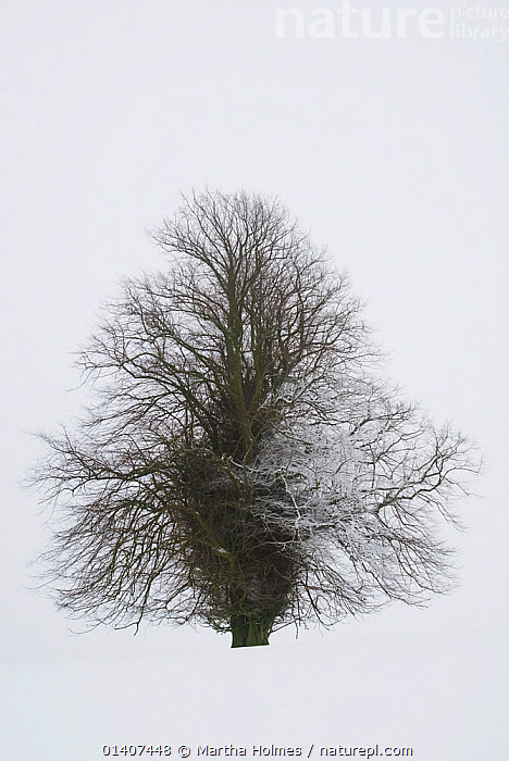 Lone lime tree (Tilia europaea) covered in snow. Forest of Dean, UK. January.  ,  COLD,CUTOUT,DECIDUOUS,DICOTYLEDONS,ENGLAND,OUTLINE,PLANTS,PORTRAITS,SNOW,TILIACEAE,UK,VERTICAL,WINTER,Europe,United Kingdom  ,  Martha Holmes