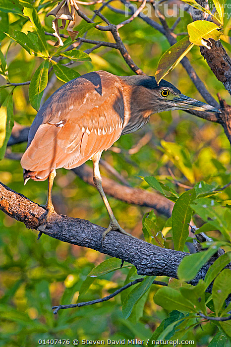 Striated green heron (Butorides striatus) on mangrove tree branch, Yellow Waters wetland, South Alligator River, Kakadu National Park, Northern Territory, Australia  ,  AUSTRALIA, BIRDS, CAMOUFLAGE, HERONS, MANGROVE, MANGROVES, national park, northern-territory, NP, PROFILE, RESERVE, tropics, VERTEBRATES, VERTICAL, WETLANDS  ,  Steven David Miller