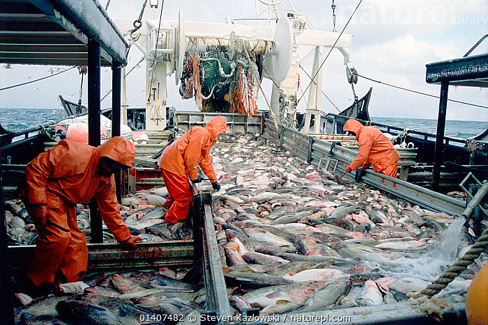Crew bleeds a full deckload of Pacific cod fish (Gadidae family) before putting them in salt water tanks, on the fishing trawler Western Dawn, Gulf of Alaska, USA. No release available.  ,  ABOARD,alaska,BOATS,catalogue5,catch of fish,COD,COMMERCIAL,commercial fishing,environmental concern,FISH,FISHING,fishing boat,fishing industry,FISHING BOATS,GROUPS,Gulf of Alaska,haul,INDUSTRY,large group of animals,MAN,MARINE,mass,MEN,men only,mid adult,NORTH AMERICA,on deck,orange colour,OSTEICHTHYES,outdoors,PACIFIC,PACIFIC OCEAN,PEOPLE,protective clothing,sea,ships,STANDING,tank,three people,trawler,USA,VERTEBRATES,waterproof clothing,WORKING,WORKING BOATS  ,  Steven Kazlowski