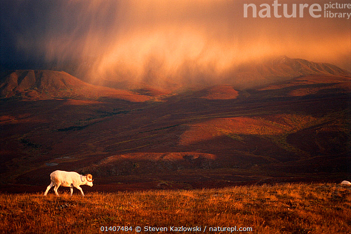 Dall sheep (Ovis dalli) solitary animal at sunset with a storm moving across the sky, Denali National Park, interior Alaska, USA, alaska,ARTIODACTYLA,Bovidae,catalogue5,CLOUDS,Denali National Park,direction,DUSK,elevated view,FORAGING,full length,hillside,MAMMALS,MOUNTAINS,national park,NIGHT,Nobody,NORTH AMERICA,NP,on the move,one animal,outdoors,PROFILE,remote,RESERVE,SHEEP,side view,SKY,solitary,storm cloud,STORMS,SUNSET,USA,VERTEBRATES,WALKING,WEATHER,wilderness,WILDLIFE,Goats,Antelopes, Steven Kazlowski