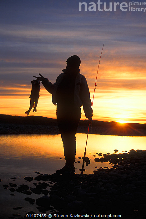 Arctic char (Salvelinus alpinus) catch held by silhouetted woman at sunset, 1002 coastal plain of the Arctic National Wildlife Refuge, North Slope, Alaska, USA  ,  ALASKA,ANWR,ARCTIC,DUSK,EVENING,FEMALES,FISH,FISHING,FISHING FOOD,FRESHWATER,NORTH AMERICA,OSTEICHTHYES,OUTLINE,PEOPLE,SILHOUETTES,SPORT,SUNSET,TROUT,USA,VERTEBRATES,VERTICAL,WOMAN  ,  Steven Kazlowski