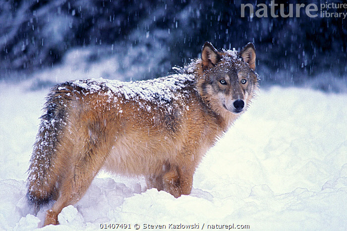 Grey wolf (Canis lupus) standing portrait, in the foothills of the Takshanuk mountains, South-East Alaska, USA  ,  ALASKA,CANIDAE,CANIDS,CARNIVORES,MAMMALS,NORTH AMERICA,PORTRAITS,PROFILE,SNOW,SNOWING,STANDING,USA,VERTEBRATES,WINTER,WOLVES,Dogs  ,  Steven Kazlowski