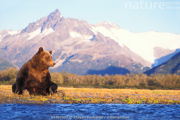 Grizzly bear (Ursus arctos horribils) sow sits in riverbed with a mountain range in background, east coast of Katmai National Park on the Alaskan peninsula, USA  ,  ALASKA,BEARS,BROWN BEAR,CARNIVORES,COASTS,FEMALES,HABITAT,LANDSCAPES,MAMMALS,MOUNTAINS,NATIONAL PARK,NORTH AMERICA,NP,RESERVE,RESTING,RIVERBED,SITTING,URSIDAE,USA,VERTEBRATES,WATER  ,  Steven Kazlowski