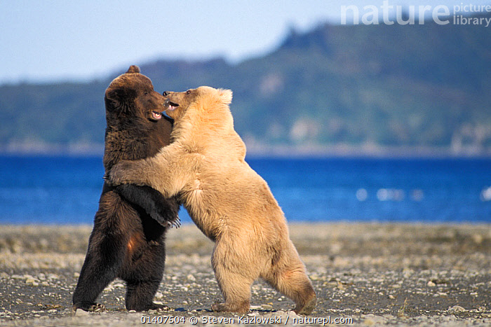 Grizzly bear (Ursus arctos horribilis) young rare blonde (white) bear plays with a young dark coloured bear along the coast of Katmai National Park, Alaskan peninsula, USA  ,  ALASKA,BEARS,BROWN BEAR,CARNIVORES,COASTS,FIGHTING,INTERACTION,JUVENILE,MAMMALS,NATIONAL PARK,NORTH AMERICA,NP,PLAY,PLAYFUL,PLAYING,RESERVE,SOCIAL BEHAVIOUR,STANDING,SUBADULT,TWO,URSIDAE,USA,VERTEBRATES,WATER,YOUNG,Aggression,Communication  ,  Steven Kazlowski