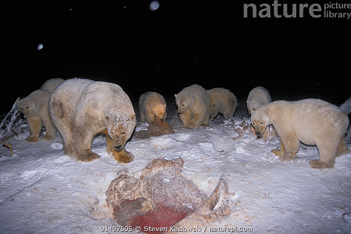 Polar bears (Ursus maritimus) scavenging on baleen whale bones at night in the 1002 coastal plain of the Arctic National Wildlife Refuge, Alaska, USA  ,  ALASKA,ANWR,ARCTIC,AUTUMN,BEARS,BONES,BOWHEAD,CARCASS,CARNIVORES,CETACEANS,COLD,DECEASED,ENDANGERED,FEEDING,FROZEN,GROUPS,MAMMALS,MARINE,NIGHT,NORTH AMERICA,POLAR,SCAVENGING,SCAVENING,SKELETON,SNOW,URSIDAE,USA,VERTEBRATES,VULNERABLE,WHALES  ,  Steven Kazlowski
