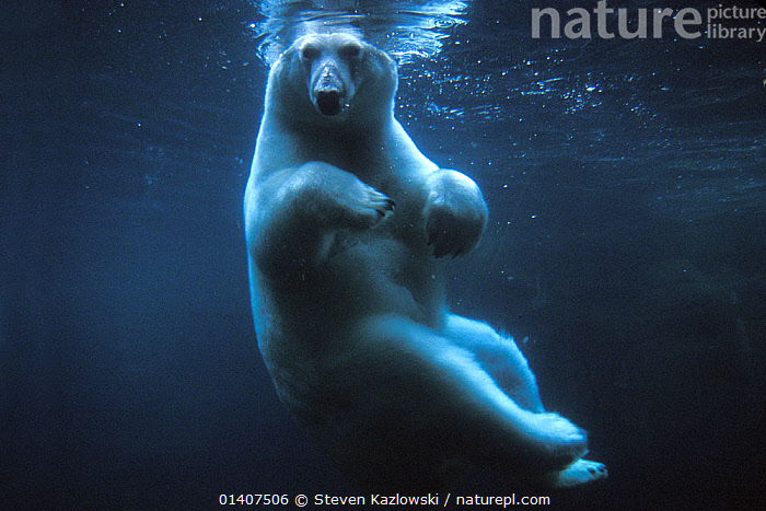 Polar bear (Ursus maritimus) underwater view swimming in a pool, Anchorage Zoo, Alaska, USA. No release available.  ,  alaska,anchorage,AQUARIUM,BEARS,captive,captive animal,CARNIVORES,catalogue5,ENDANGERED,floating on water,full length,FUR,HUMOROUS,MAMMALS,MARINE,Nobody,NORTH AMERICA,one animal,pool,sunlight,SWIMMING,UNDERWATER,Ursidae,USA,VERTEBRATES,Vulnerable,WATER,WILDLIFE,zoo,Concepts  ,  Steven Kazlowski