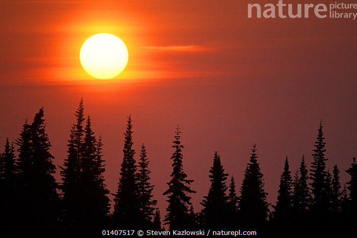 Glowing sunset silhouetting trees on the Kenai Peninsula, South Central Alaska, USA  ,  ALASKA,ATMOSPHERIC,CALM,CONIFEROUS,DUSK,EVENING,LANDSCAPES,NORTH AMERICA,PEACEFUL,SILHOUETTES,SUN,SUNSET,TREES,USA,PLANTS  ,  Steven Kazlowski