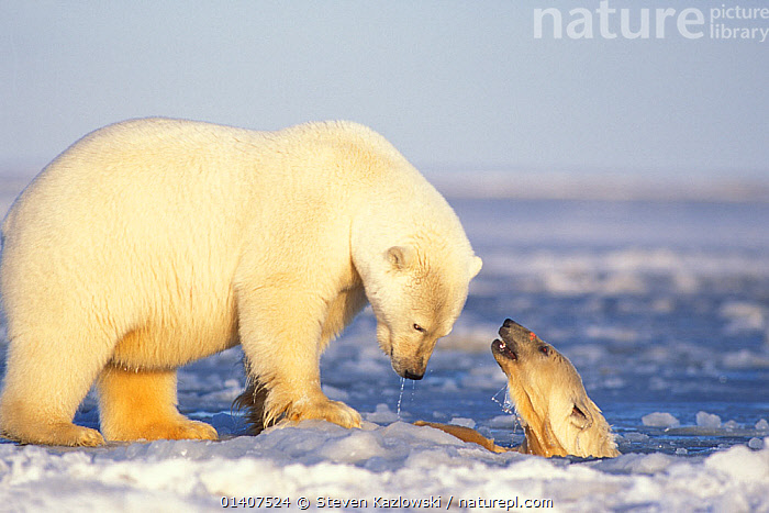 Polar bear (Ursus maritimus) sow on newly formed pack ice with spring cub playing in the water, 1002 area of the Arctic National Wildlife Refuge, North Slope, Alaska, USA  ,  ALASKA,ANWR,ARCTIC,AUTUMN,BABIES,BEARS,CARNIVORES,CUBS,ENDANGERED,FEMALES,HORIZONTAL,ICE,JUVENILE,MAMMALS,MARINE,MOTHER,MOTHER AND YOUNG,NORTH AMERICA,PLAY,PLAYING,POLAR,SNOW,SOW,URSIDAE,USA,VERTEBRATES,VULNERABLE,WATER,YOUNG,Communication  ,  Steven Kazlowski