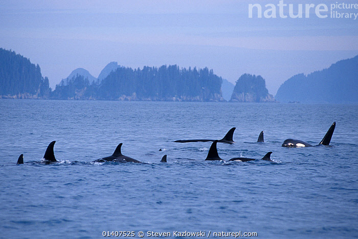 Killer whale (Orcinus orca) large pod with one male approaching, in Kenai Fjords National Park, Chiswell Islands National Marine Sanctuary, South Central Alaska, USA  ,  ALASKA,CETACEANS,DELPHINIDAE,DOLPHINS,DORSAL FINS,FAMILIES,FINS,FJORDS,GROUPS,ISLANDS,MAMMALS,MARINE,NATIONAL PARK,NORTH AMERICA,NP,OCEAN,PACIFIC,PODS,RESERVE,SANCTUARY,SEA,SURFACE,TRAVELLING,USA,VERTEBRATES,WATER  ,  Steven Kazlowski