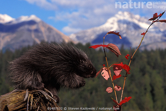 North American porcupine (Erethizon dorsatum) pup feeds on Alaskan high brush cranberries in the foothills of the Takshanuk Mountains, South-East Alaska, USA  ,  ALASKA,BABIES,ERETHIZONTIDAE,FEEDING,JUVENILE,MAMMALS,NORTH AMERICA,PLANTS,PORCUPINES,PROFILE,RODENTS,USA,VERTEBRATES,YOUNG  ,  Steven Kazlowski