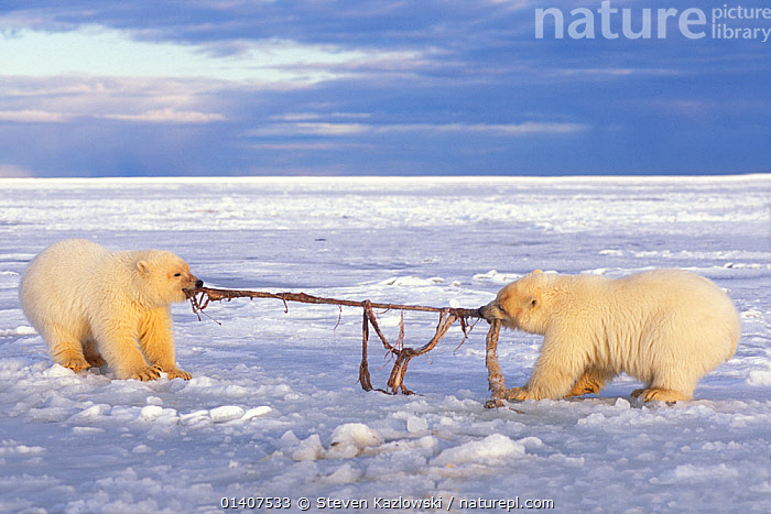 Polar bear (Ursus maritimus) pair of spring cubs play tug-o-war with a piece of whale remains during freeze up, 1002 area of the Arctic National Wildlife Refuge, North Slope, Alaska, USA  ,  ALASKA,ANWR,ARCTIC,AUTUMN,BABIES,BEARS,CARNIVORES,CUBS,ENDANGERED,FEEDING,ICE,INTERACTION,JUVENILE,MAMMALS,MARINE,NORTH AMERICA,PLAYFUL,PLAYING,POLAR,TWO,URSIDAE,USA,VERTEBRATES,VULNERABLE,YOUNG  ,  Steven Kazlowski