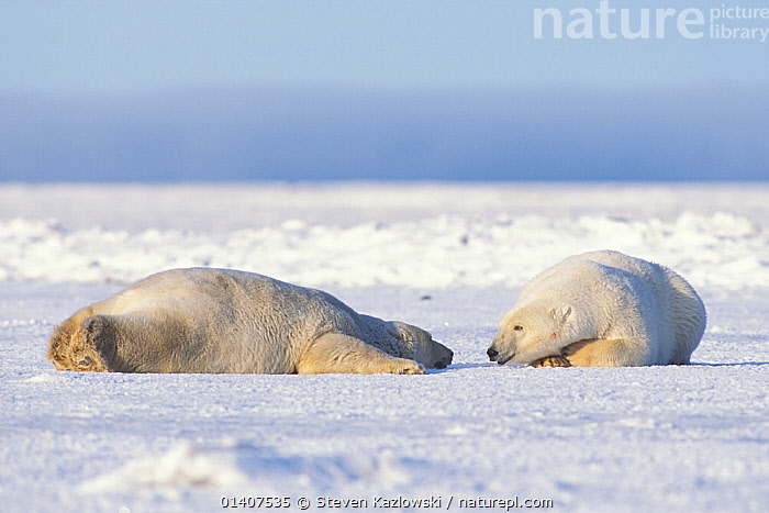 Polar bear (Ursus maritimus) pair of adults rest and stay cool on the newly formed pack ice in autumn, 1002 area of the Arctic National Wildlife Refuge, North Slope, Alaska, USA  ,  ALASKA,ANWR,ARCTIC,AUTUMN,BEARS,BEHAVIOUR,CARNIVORES,COOLING,ENDANGERED,GREETING,ICE,INTERACTION,LYING,MAMMALS,MARINE,NORTH AMERICA,POLAR,RESTING,SNOW,SOCIAL BEHAVIOUR,THERMOREGULATION,TWO,URSIDAE,USA,VERTEBRATES,VULNERABLE  ,  Steven Kazlowski