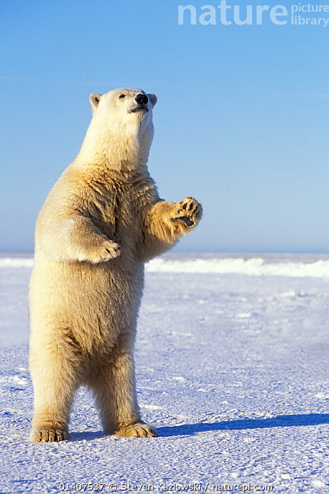 Polar bear (Ursus maritimus) adult stands on the snow-covered pack ice to get a better look at something in the distance, 1002 area of the Arctic National Wildlife Refuge, North Slope, Alaska, USA  ,  ALASKA,ALERT,ANWR,ARCTIC,AUTUMN,BEARS,BEHAVIOUR,CARNIVORES,COPYSPACE,CUTOUT,ENDANGERED,ICE,LOOKING,MAMMALS,MARINE,NORTH AMERICA,POLAR,PORTRAITS,STANDING,URSIDAE,USA,VERTEBRATES,VERTICAL,VULNERABLE  ,  Steven Kazlowski