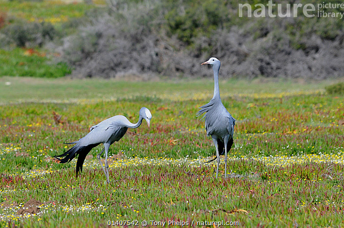 Blue Crane (Anthropoides paradiseus) male and female in succulent fynbos. DeHoop Nature reserve. Western Cape, South Africa. August.  ,  AFRICA,ANTHROPOIDES PARADISEA,BIRDS,CRANES,ENDANGERED,MALE FEMALE PAIR,NP,RESERVE,SOUTH AFRICA,VERTEBRATES,National Park  ,  Tony Phelps