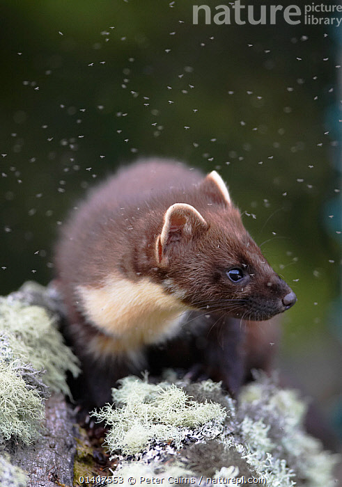 Pine marten (Martes martes), climbing tree surrounded by midges, Cairngorms National Park, Scotland  ,  ARBOREAL,CARNIVORES,EUROPE,GROUPS,INSECTS,LICHEN,MAMMALS,MARTENS,MASS,MIDGES,MUSTELIDAE,MUSTELIDS,NATIONAL PARK,NP,PESTS,PROFILE,RESERVE,SCOTLAND,SUMMER,SWARMS,UK,VERTEBRATES,VERTICAL,Invertebrates,United Kingdom  ,  Peter Cairns