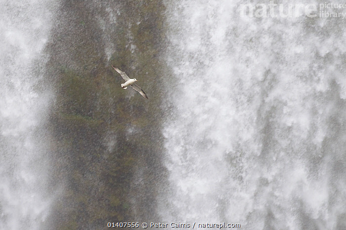 Fulmar (Fulmarus glacialis) in flight in front of Skogafoss waterfall, Iceland, June  ,  BIRDS,DRAMATIC,EUROPE,FLIGHT,FLYING,ICELAND,PETRELS,PROCELLARIIDAE,SEABIRDS,SPRAY,SUMMER,VERTEBRATES,WATER,WATERFALLS,CONCEPTS,Catalogue5  ,  Peter Cairns