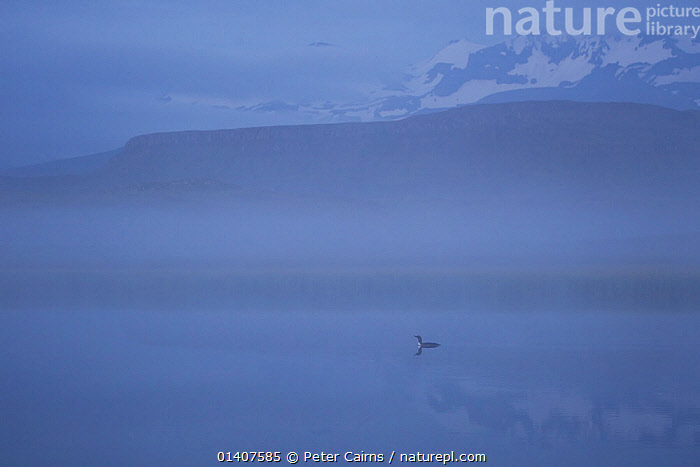 Red throated diver (Gavia stellata) in dawn mist, Iceland, June  ,  ATMOSPHERIC,BIRDS,CALM,DAWN,DIVERS,EUROPE,GAVIIDAE,HABITAT,ICELAND,LAKES,LANDSCAPES,LOON,LOONS,MIST,MORNING,PEACEFUL,VERTEBRATES,WATER,WATERFOWL  ,  Peter Cairns