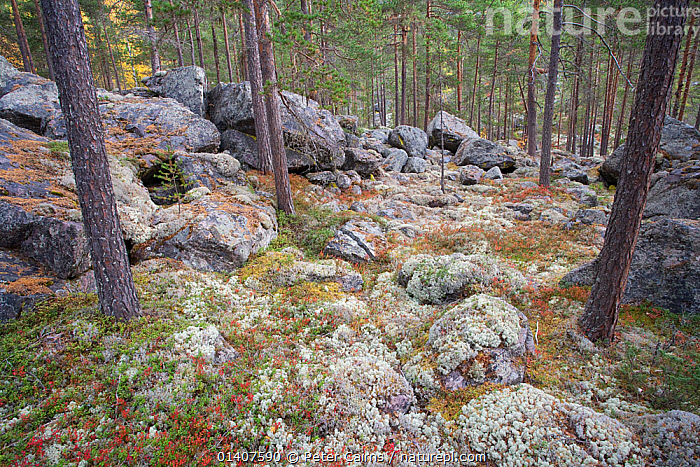 Autumnal boreal forest, Rondane, Norway September 2007  ,  AUTUMN,BOREAL,CONIFEROUS,EUROPE,FORESTS,HABITAT,LANDSCAPES,LICHENS,NATIVE,NORWAY,ROCKS,SCANDINAVIA,TREES,UNDERSTOREY,WOODLANDS,Plants  ,  Peter Cairns