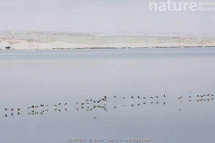 Squadrons of Brunnich's Guillemots (Uria lomvia), flying back to breeding cliffs, Svalbard, Norway, June  ,  ARCTIC,AUKS,BIRDS,BREEDING,COASTAL WATERS,COASTS,EUROPE,FLIGHT,FLOCKS,FLYING,GROUPS,LANDSCAPES,MARINE,MASS,NORWAY,SEA,SEABIRDS,SVALBARD,THICK BILLED MURRE,VERTEBRATES,Scandinavia  ,  Peter Cairns
