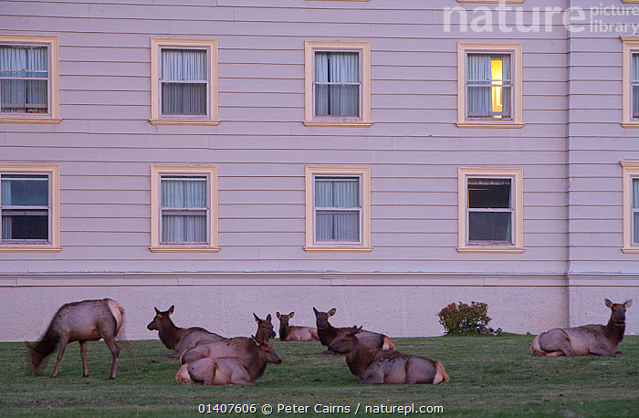 Elk (Cervus elaphus canadensis) herd resting in front of hotel, Mammoth Hot Springs, Yellowstone National Park, USA  ,  AUTUMN,BUILDINGS,CERVIDAE,CERVUS ELAPHUS CANADENSIS,DEER,ELK,GRAZING,GROUPS,HERDS,MAMMALS,NATIONAL PARK,NORTH AMERICA,NP,RESERVE,RESTING,SURBURBIA,TOWNS,URBAN,VERTEBRATES,WAPITI  ,  Peter Cairns