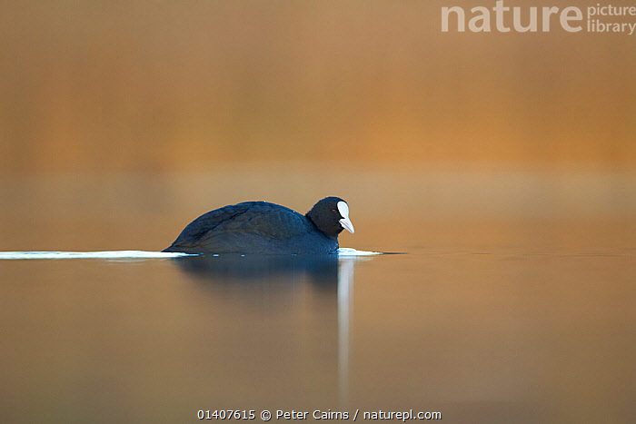 Coot (Fulica atra) swimming in evening light, Fife, Scotland, UK November  ,  BIRDS,CALM,COOTS,COPYSPACE,EUROPE,PEACEFUL,PORTRAITS,PROFILE,REFLECTIONS,SCOTLAND,SWIMMING,UK,VERTEBRATES,WATER,WATERFOWL,United Kingdom  ,  Peter Cairns