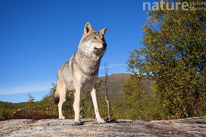 RF- Eurasian wolf (Canis lupus lupus), Norway, captive. (This image may be licensed either as rights managed or royalty free.)  ,  alert,Canidae,CANIDS,captive,CARNIVORES,EUROPE,European,MAMMALS,NORWAY,PORTRAITS,STANDING,VERTEBRATES,,CANIS LUPUS LUPUS,Animal,Vertebrate,Mammal,Carnivore,Canid,Grey Wolf,Eurasian wolf,Animalia,Animal,Wildlife,Vertebrate,Mammalia,Mammal,Carnivora,Carnivore,Canidae,Canid,Canis,Canis lupus,Grey Wolf,Common Wolf,Gray Wolf,Wolf,Standing,Thoughtful,Alertness,Colour,Grey,Nobody,Serious,Europe,Northern Europe,North Europe,Nordic Countries,Scandinavia,Norway,Copy Space,Front View,Sky,Outdoors,Eurasian wolf,Negative space,Blue sky,Contemplation,Wondering,RF,Royalty free,RFCAT1,RF17Q1,  ,  Peter Cairns