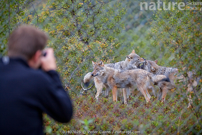 Eurasian wolves (Canis lupus lupus) being photographed in enclosure at education centre, Norway, captive  ,  CANIDAE,CANIDS,CAPTIVE,CARNIVORES,CONTROLLED,CONTROVERSIAL,EDUCATION,EUROPE,EUROPEAN,FENCES,GROUPS,MAMMALS,MAN,NORWAY,PACKS,PEOPLE,PHOTOGRAPHY,SOCIAL BEHAVIOUR,VERTEBRATES,WOLVES,Scandinavia,Dogs  ,  Peter Cairns