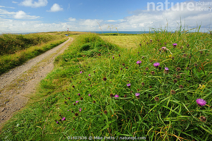 Wildflowers on an ancient bank next to track, Bardsey Island, North Wales, UK, August 2012  ,  CLOUDS,EUROPE,FIELDS,FLOWERS,ISLANDS,LANDSCAPES,MEADOWLAND,PATHS,ROADS,SKY,UK,WILD,Weather,Grassland,United Kingdom  ,  Mike Potts