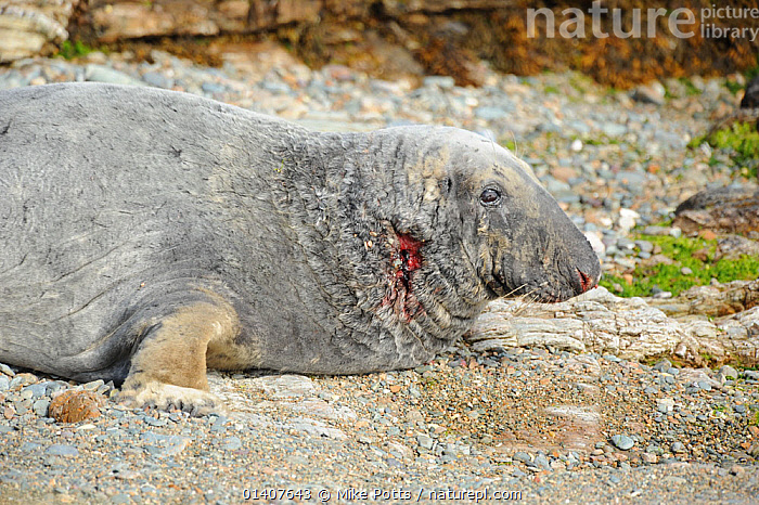 Grey Seal (Halichoerus grypus) with a wounded neck from fighting. Bardsey Island, North Wales, UK, August  ,  ATLANTIC,CARNIVORES,COASTS,EUROPE,INJURED,INJURY,ISLANDS,MAMMALS,MARINE,PHOCIDAE,PINNIPEDS,SEALS,UK,VERTEBRATES,WALES,WOUNDED,United Kingdom  ,  Mike Potts