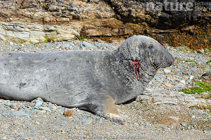 Grey Seal (Halichoerus grypus) with a wounded neck from fighting. Bardsey Island, North Wales, UK, August  ,  ATLANTIC,CARNIVORES,COASTS,INJURED,ISLANDS,MAMMALS,MARINE,PHOCIDAE,PINNIPEDS,SEALS,THE SEA,UK,VERTEBRATES,WALES,WOUNDED,Europe,United Kingdom  ,  Mike Potts