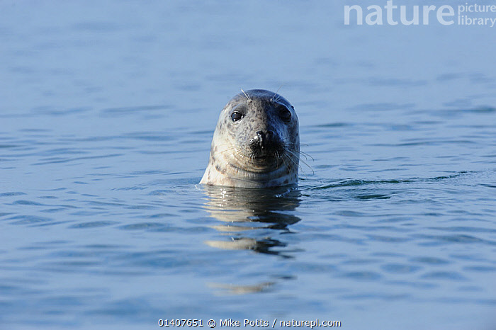 Grey Seal (Halichoerus grypus) with its head out of the water. Bardsey Island, North Wales, UK, August  ,  ATLANTIC,CARNIVORES,CURIOUS,EUROPE,HEADS,INQUISITIVE,MAMMALS,MARINE,PHOCIDAE,PINNIPEDS,PORTRAITS,SEALS,SURFACE,TEMPERATE,UK,VERTEBRATES,WALES,United Kingdom  ,  Mike Potts