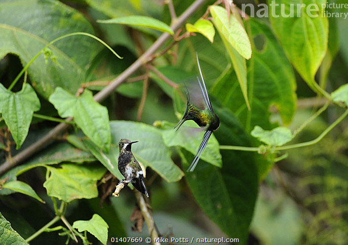 Male Wire-crested thorntail (Discosura popelairii) displaying to a female, Wild Sumaco, Ecuador.  ,  BEHAVIOUR, BIRDS, Blurred, CLOUD-FOREST, DISPLAY, Ecuador, FLYING, HUMMINGBIRDS, MALE-FEMALE-PAIR, MOVEMENT, SOUTH-AMERICA, TROCHILIDAE, VERTEBRATES,Communication  ,  Mike Potts