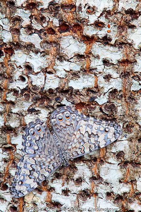 Gray Cracker Butterfly (Hamadryas februa), Dzibilchaltun, Yucatan Peninsula, Mexico, August.  ,  camouflage, CENTRAL-AMERICA, CRACKER-BUTTERFLIES, INSECTS, INVERTEBRATES, LEPIDOPTERA, MEXICO, PATTERNS, VERTICAL  ,  Claudio Contreras
