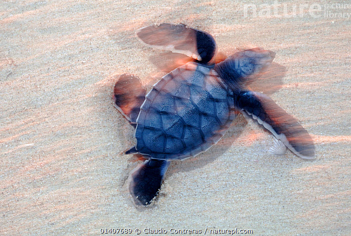 Green Turtle (Chelonia mydas) hatchling on its way to the sea, Ria Lagartos Biosphere Reserve, Yucatan Peninsula, Mexico, August. Endangered species.  ,  BABIES,BLURRED,CARIBBEAN,CENTRAL AMERICA,CHELONIA,ENDANGERED,MARINE,MEXICO,MOTION BLUR,MOTION BLURR,MOVEMENT,REPTILES,SEA TURTLES,TURTLES,West Indies,CENTRAL-AMERICA,Catalogue5  ,  Claudio Contreras