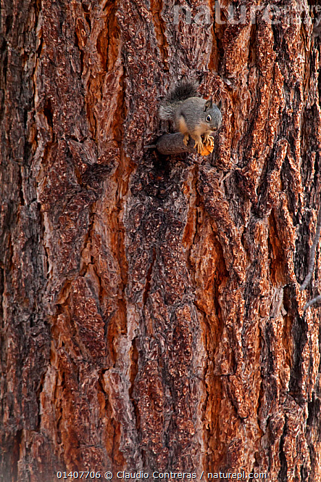 Mearns's Squirrel (Tamiasciurus mearnsi) on tree trunk,  San Pedro Martir National Park, Baja California Peninsula, Mexico, May.  ,  BARK,CENTRAL AMERICA,ENDANGERED,MAMMALS,MEXICO,PORTRAITS,SQUIRRELS,VERTEBRATES,VERTICAL,Plants  ,  Claudio Contreras