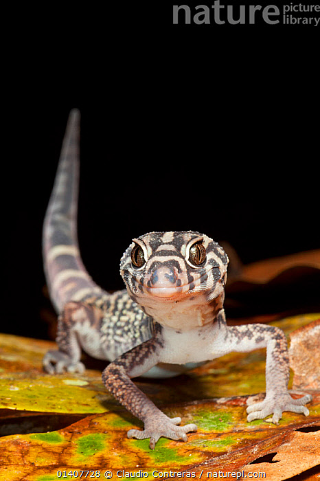Yucatan banded gecko (Coleonyx elegans), El Mirador-Rio Azul National Park, Department of Peten, Guatemala, October.  ,  GECKOS,GUATAMALA,LIZARDS,LOOKING AT CAMERA,PORTRAITS,REPTILES,SOUTH AMERICA,VERTEBRATES,VERTICAL,,Lizard,  ,  Claudio Contreras