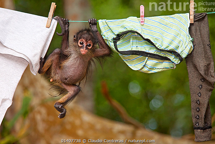 Central American Spider Monkey (Ateles geoffroyi) orphan baby hanging from washing line.  El Mirador- Rio Azul National Park, Department of Peten, Guatemala.  ,  ATELIDAE,BABIES,CUTE,ENDANGERED,FUNNY,GEOFFROY'S SPIDER MONKEY,MAMMALS,MONKEYS,PEOPLE,PRIMATES,SOUTH AMERICA,SPIDER MONKEYS,VERTEBRATES,WASHING LINE,Catalogue5  ,  Claudio Contreras