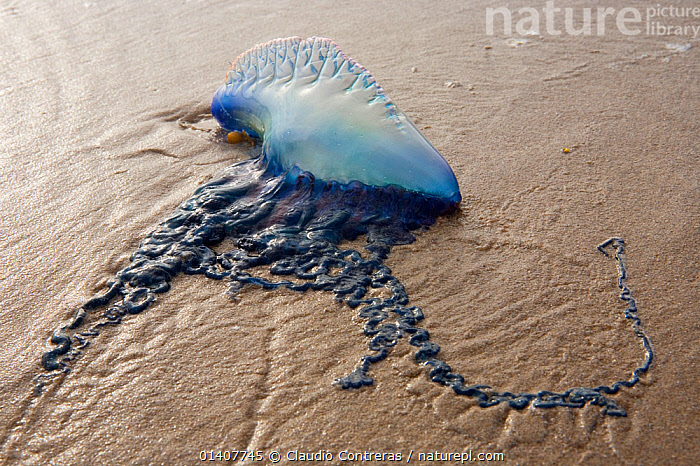 Portugese Man-Of-War (Physalia physalis) stranded on beach, Boca Chica, Texas, USA February.  ,  BEACHED,BEACHES,CNIDARIANS,HYDROZOANS,INVERTEBRATES,JELLYFISH,MARINE,NORTH AMERICA,SIPHONOPHORE,STRANDED,USA  ,  Claudio Contreras