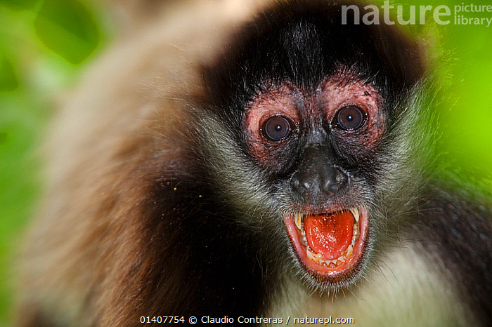 Central American Spider Monkey (Ateles geoffroyi) with mouth open. Punta Laguna, Otoch Ma'ax Yetel Kooh Reserve, Yucatan Peninsula, Mexico, October. Endangered species.  ,  ATELIDAE,CENTRAL AMERICA,ENDANGERED,GEOFFROY'S SPIDER MONKEY,MAMMALS,MEXICO,MONKEYS,MOUTHS,PORTRAITS,PRIMATES,SPIDER MONKEYS,TEETH,TONGUES,VERTEBRATES  ,  Claudio Contreras