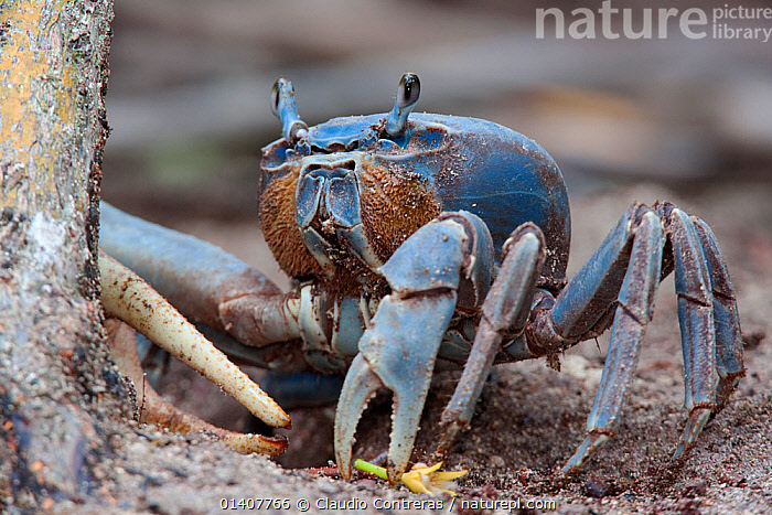 Blue Land Crab (Cardisoma guanhumi), Sian Ka'an Biosphere Reserve, Yucatan Peninsula, Mexico, August.  ,  ARTHROPODS,CENTRAL AMERICA,CRABS,CRUSTACEANS,INVERTEBRATES,LAND CRABS,MEXICO,PORTRAITS,RESERVE  ,  Claudio Contreras