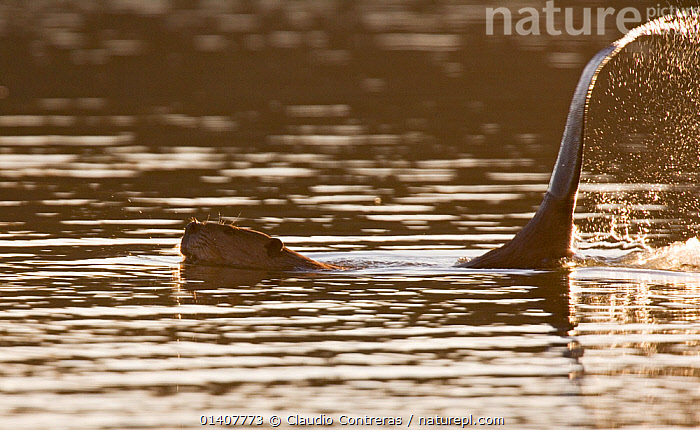 American Beaver (Castor canadensis) splashing water with tail, Los Fresnos Ranch, Sonora, northwestern Mexico, February.  ,  BEAVERS,BEHAVIOUR,CASTORIDAE,CENTRAL AMERICA,FRESHWATER,MAMMALS,MEXICO,RODENTS,SPLASH,VERTEBRATES,WATER  ,  Claudio Contreras