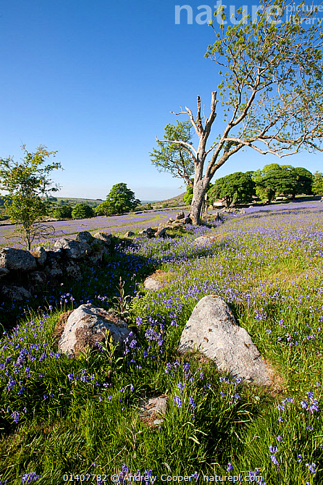Bluebells (Hyacinthoides non-scripta) in flower. Emsworth, Dartmoor, UK, June 2010.  ,  BLUE, COUNTRYSIDE, dartmoor, ENGLAND, EUROPE, fields, FLOWERS, LANDSCAPES, LILIACEAE, MONOCOTYLEDONS, NP, PLANTS, RESERVE, SPRING, TREES, UK, VERTICAL,National Park,United Kingdom  ,  Andrew Cooper