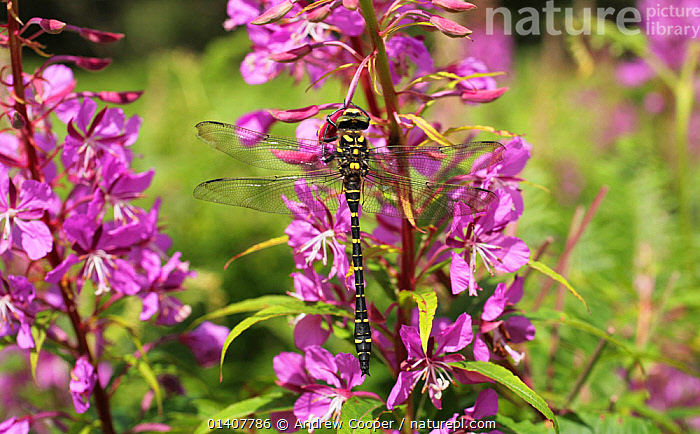 Golden Ringed Dragonfly (Cordulegaster boltonii) on Rosebay willowherb. Dartmoor, Devon, July.  ,  ARTHROPODS, dartmoor, DRAGONFLIES, ENGLAND, EUROPE, FLOWERS, INSECTS, INVERTEBRATES, NP, ODONATA, PURPLE, RESERVE, UK,National Park,United Kingdom  ,  Andrew Cooper