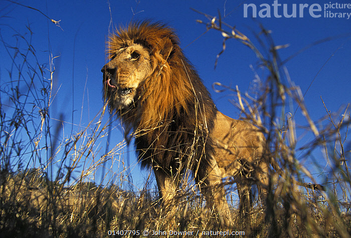 Lion (Panthera Leo) male, seen from low angle shot,