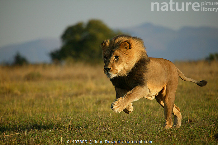 Lion (Panthera leo) male running, Pietersburg, Northern Province, South Africa. Taken on location for 'Pride' tv series.  ,  432T1122.JPG,AFRICA,BIG CATS,CARNIVORES,FELIDAE,LIONS,MALES,MAMMALS,RUNNING,SOUTH AFRICA,SOUTHERN AFRICA,VERTEBRATES  ,  John Downer