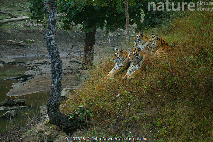 Bengal Tiger (Panthera tigris tigris) family resting, Pench National Park, Madhya Pradesh, India, taken on location for 'Tiger - Spy in the Jungle' December 2006  ,  ASIA,BIG CATS,CARNIVORES,ENDANGERED,FAMILIES,FELIDAE,GROUPS,HABITAT,INDIA,INDIAN SUBCONTINENT,MAMMALS,NP,RESERVE,TIGERS,National Park  ,  John Downer