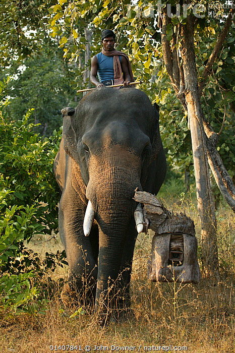 'Tusk cam' camera mounted onto domesticated elephant (Elephas maximus) tusk to film bengal tigers,  Pench National Park, Madhya Pradesh, India, taken on location for 'Tiger - Spy in the Jungle'. December 2006  ,  ELEPHANTIDAE,ELEPHANTS,MAMMALS,NATURAL HISTORY FILMING,TECHNOLOGY,TELEVISION,VERTICAL,WILDLIFE TELEVISION,WORKING,ASIA,CAMERAS,ENDANGERED,EQUIPMENT,FILMING,INDIA,INDIAN SUBCONTINENT,NATURAL HISTORY TELEVISION,NP,PEOPLE,PROBOSCIDS,RESERVE,VERTEBRATES,National Park  ,  John Downer