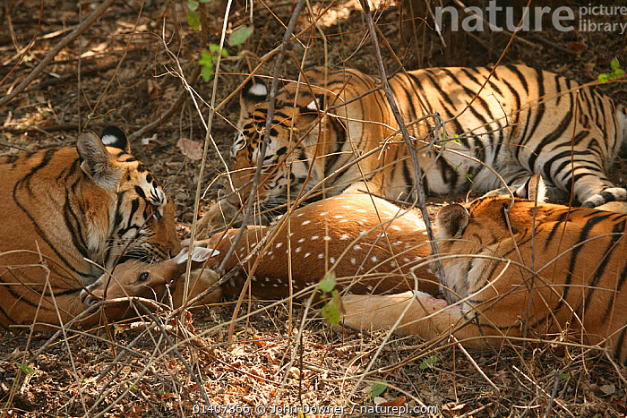 Bengal Tiger (Panthera tigris tigris) family feeding on Chital deer (Axis axis) Pench National Park, Madhya Pradesh, India, taken on location for 'Tiger - Spy in the Jungle' 2007  ,  ASIA,BIG CATS,CARNIVORES,DEER,ENDANGERED,FAMILIES,FELIDAE,GROUPS,INDIA,INDIAN SUBCONTINENT,MAMMALS,NP,PREDATION,RESERVE,TIGERS,National Park,Behaviour  ,  John Downer