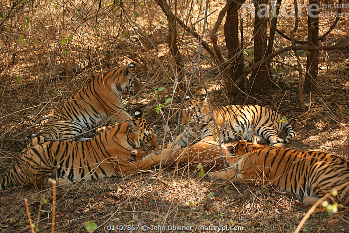 Bengal Tiger (Panthera tigris tigris) family feeding on Chital deer (Axis axis) Pench National Park, Madhya Pradesh, India, taken on location for 'Tiger - Spy in the Jungle' 2007  ,  ASIA,BIG CATS,CARNIVORES,DEER,ENDANGERED,FAMILIES,FEEDING,FELIDAE,GROUPS,INDIA,INDIAN SUBCONTINENT,MAMMALS,NP,PREDATION,RESERVE,TIGERS,National Park,Behaviour  ,  John Downer