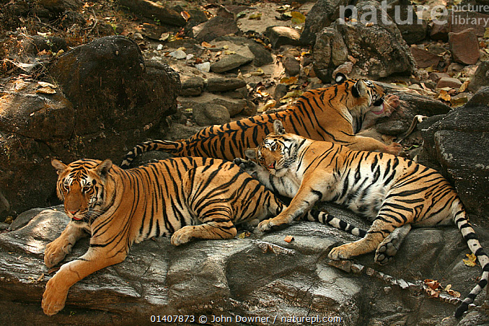 Bengal Tigers (Panthera tigris tigris) resting, Pench National Park, Madhya Pradesh, India, taken on location for 'Tiger - Spy in the Jungle' 2007  ,  ASIA,BIG CATS,CARNIVORES,ENDANGERED,FAMILIES,FELIDAE,FEMALES,INDIA,INDIAN SUBCONTINENT,JUVENILE,JUVENILES,MALES,MAMMALS,MOTHER,NP,RESERVE,THREE,TIGERS,YOUNG,National Park  ,  John Downer